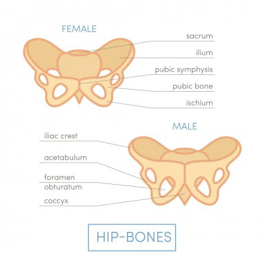 Male and female type pelvis