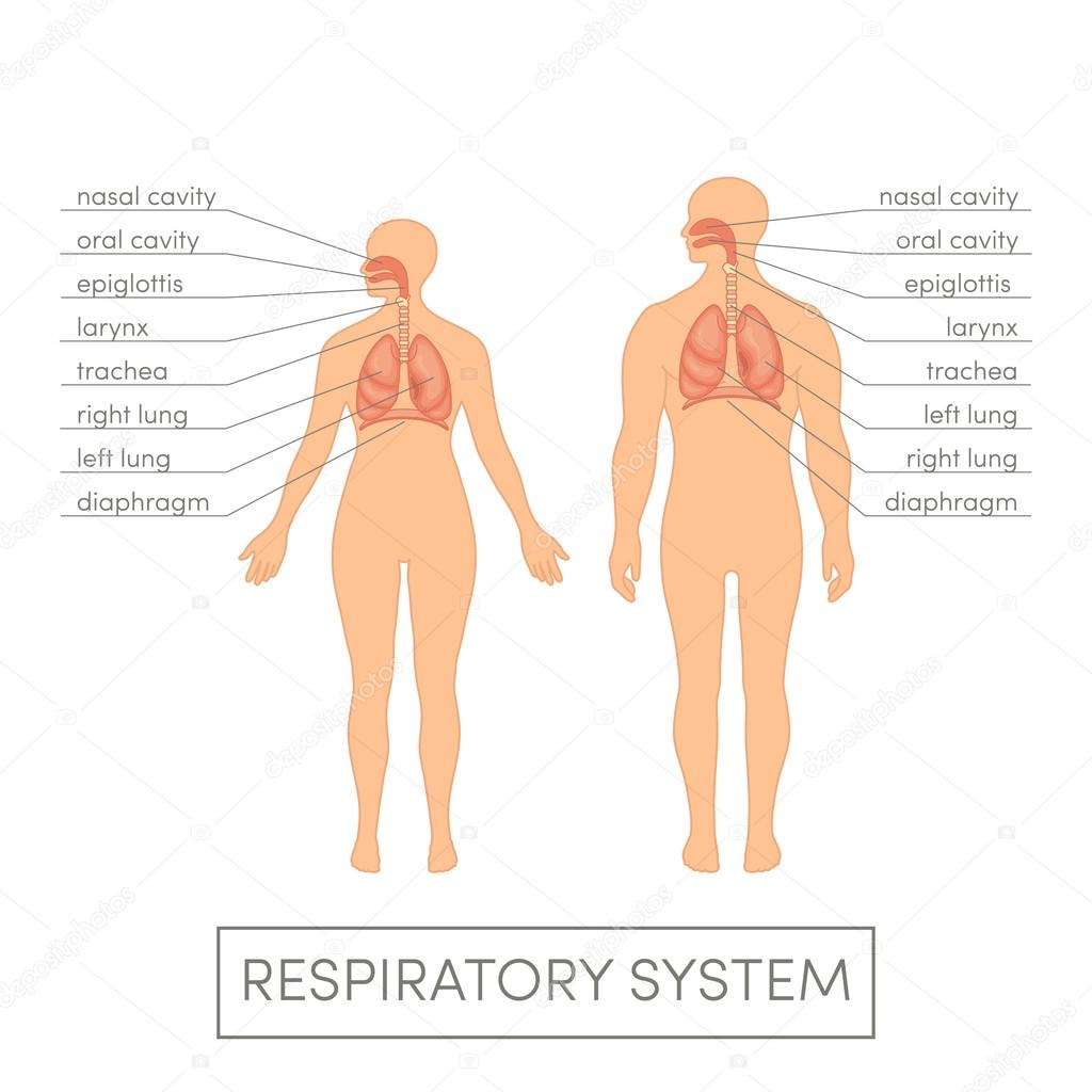 Respiratory system of human — Stock Vector © marina_ua #92057586