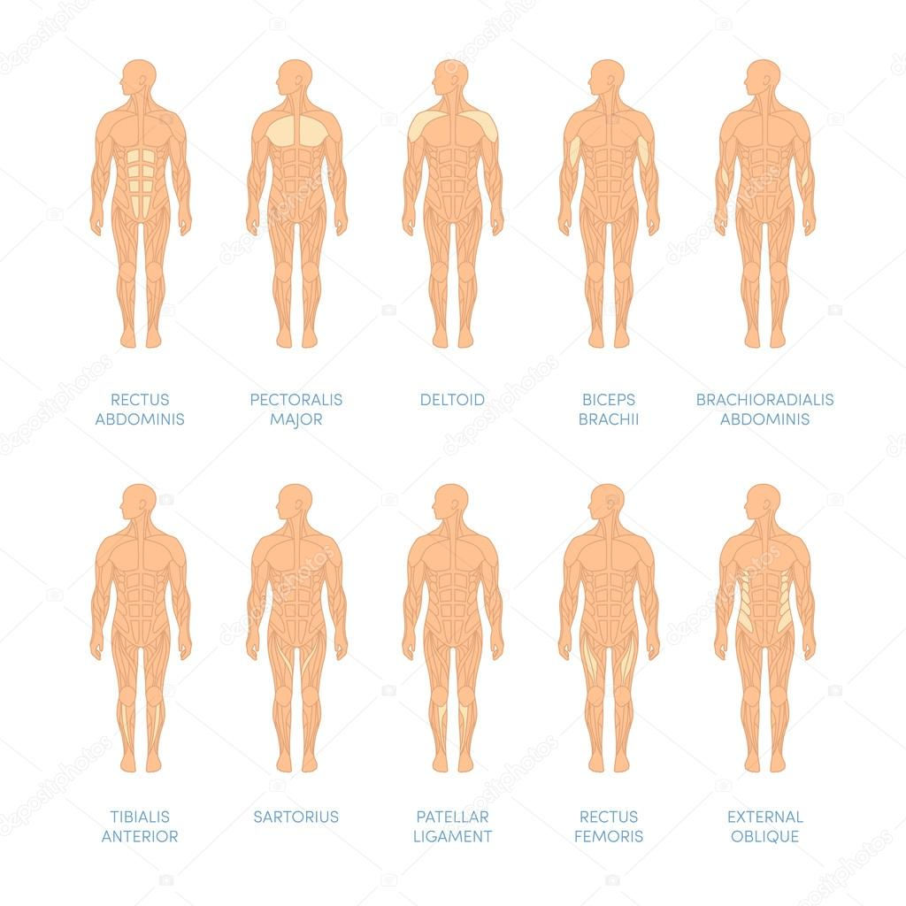 Muscular system of a human — Archivo Imágenes Vectoriales ...
