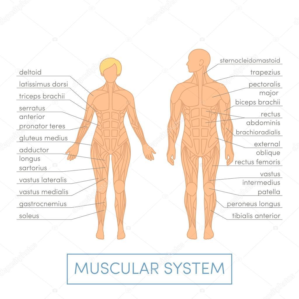 Human Muscular System Stock Vector Marinaua 92057660