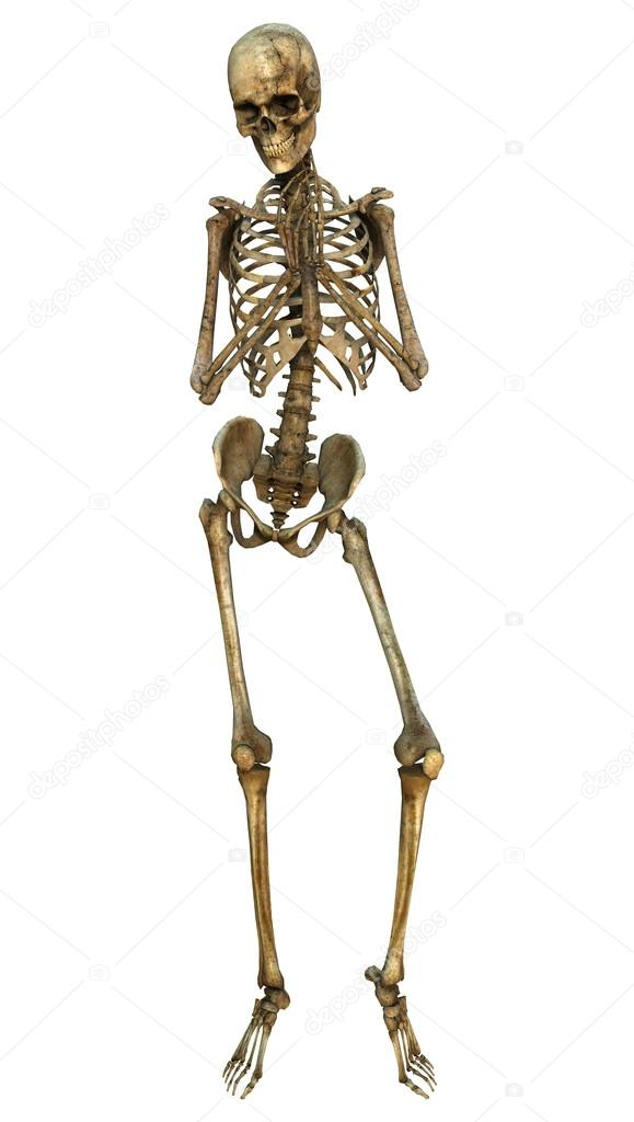 Human Skeleton — Stock Photo © PhotosVac #63084457