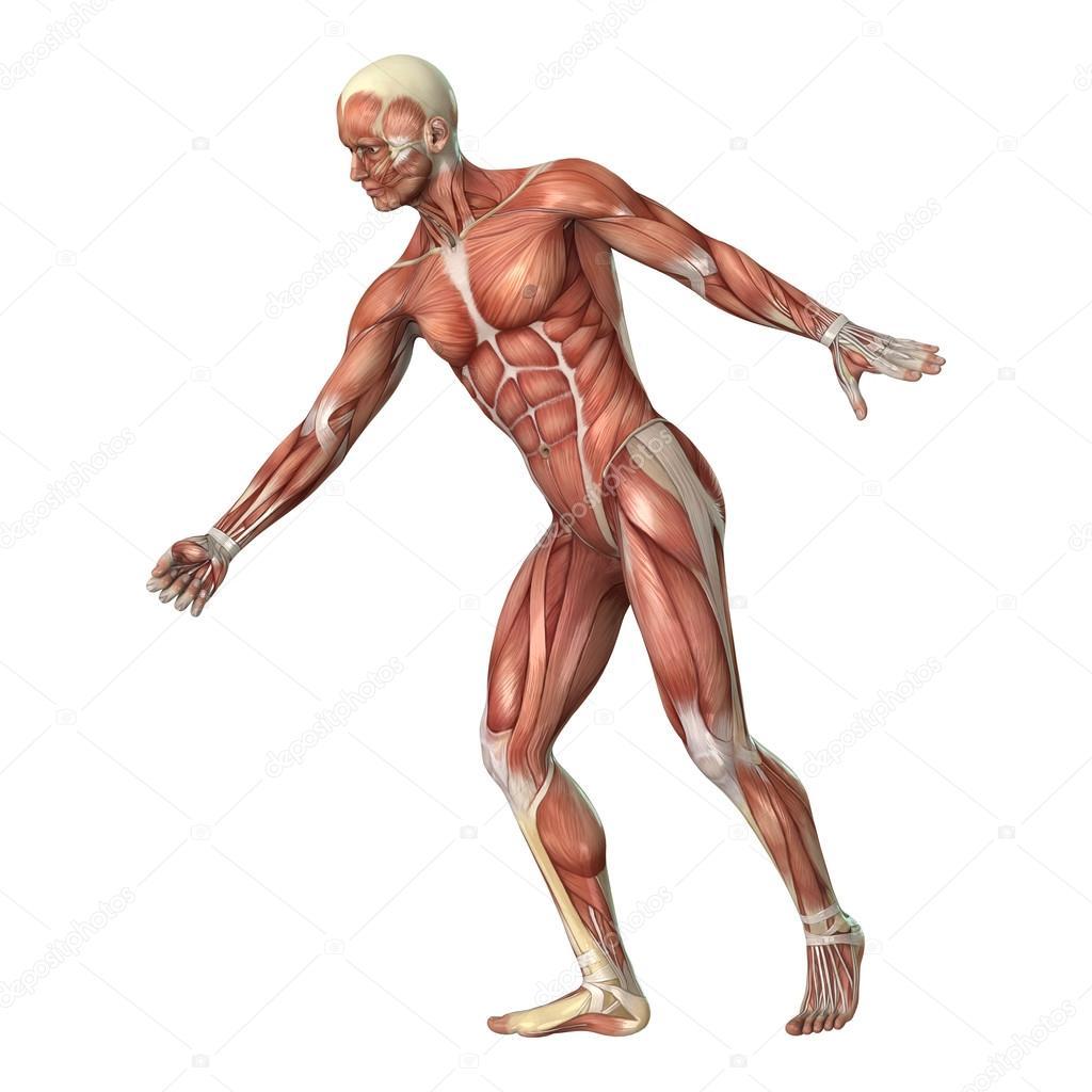 Muskeln-Karte — Stockfoto © PhotosVac #86268516
