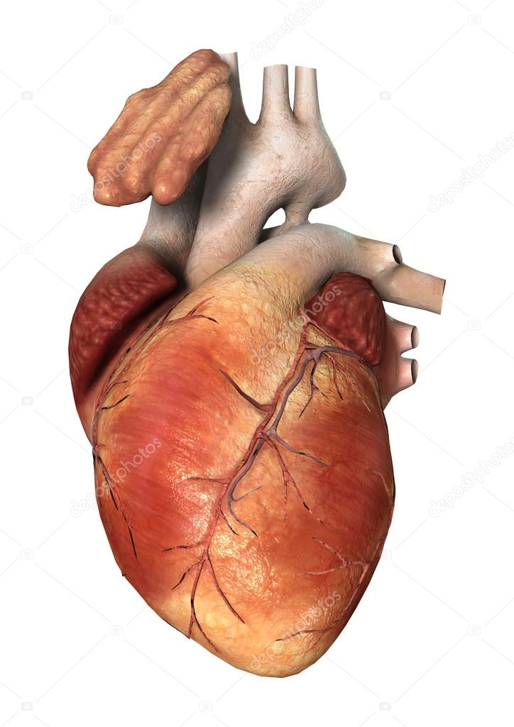 Human heart on white stock photo photosvac 90076088 3d digital render of a human heart isolated on white background photo by photosvac ccuart