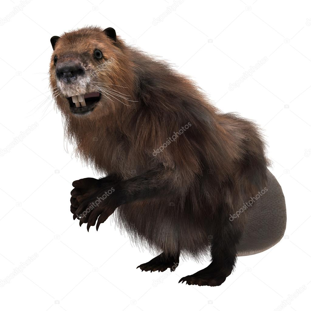 north american beaver essay The north american beaver (castor canadensis) is the second largest living   average taxonomic summary of the bacteria identified in the.