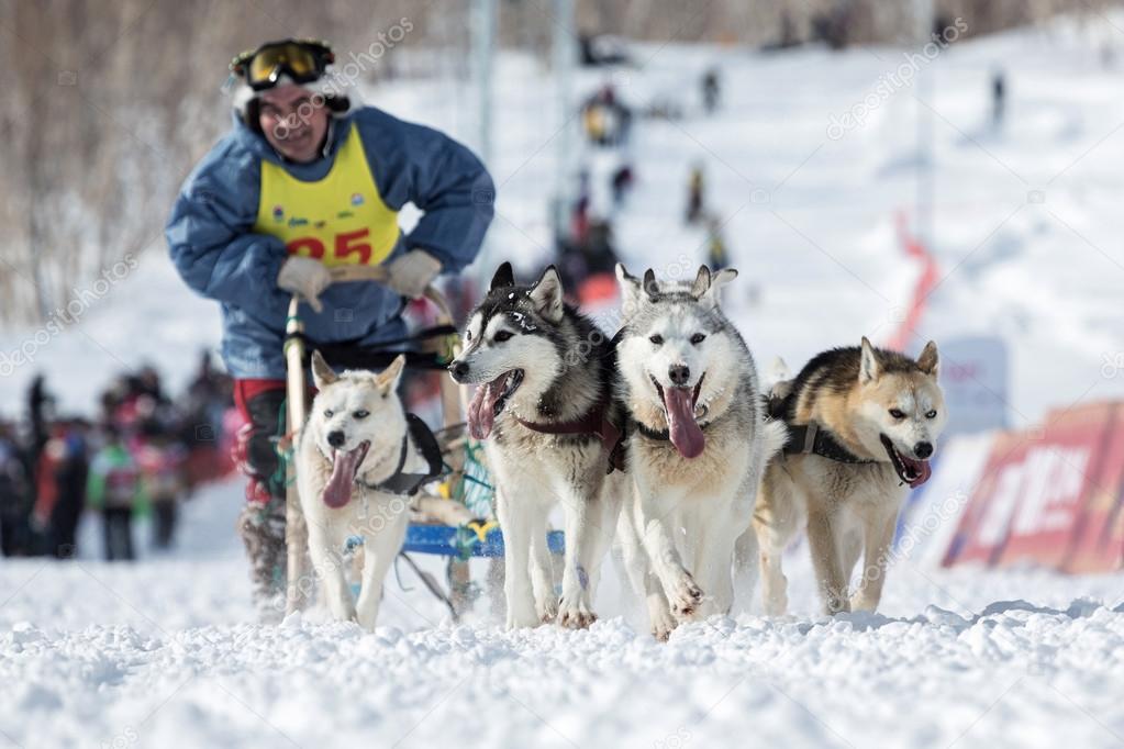 Kamchatka Dog Sledge Racing Beringia – Stock Editorial Photo