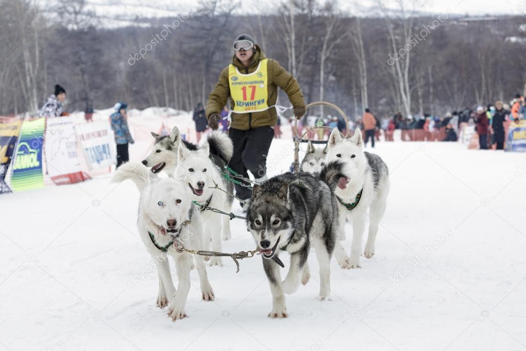 Kamchatka Dog Sled Race Beringia  Russia, Far East