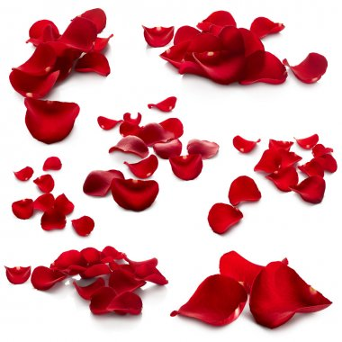 Petals of red rose