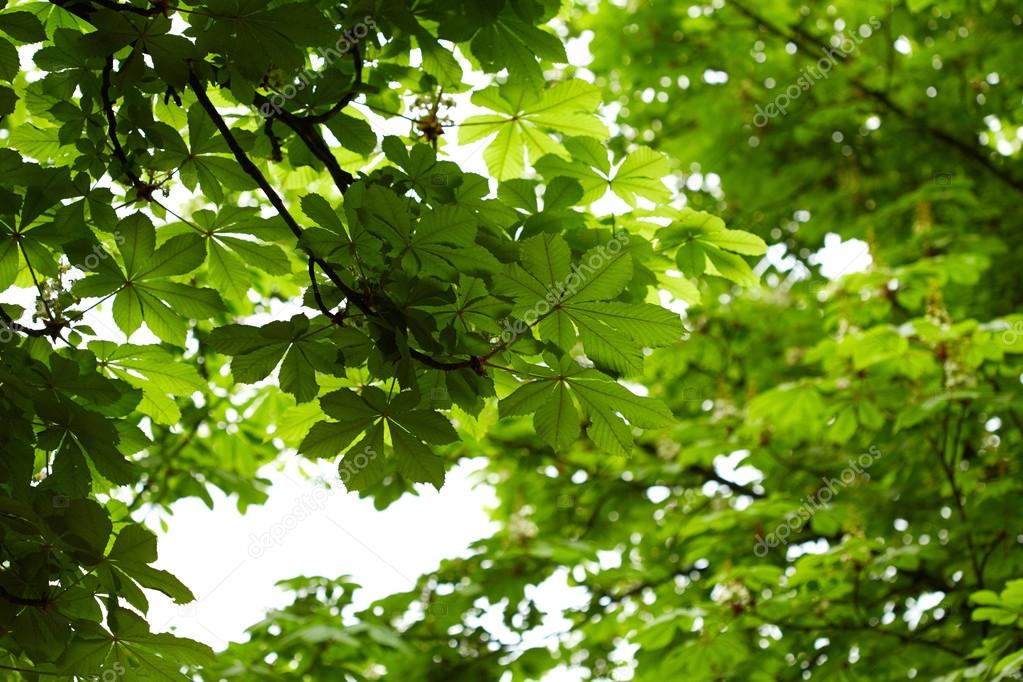 Foliage of chestnut tree