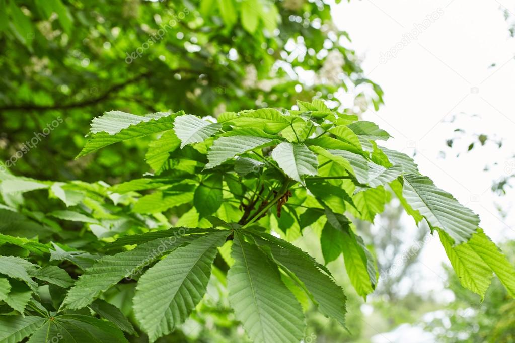 Foliage of chestnut tree