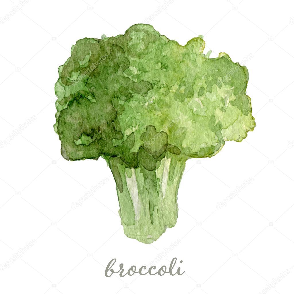 Watercolor broccoli - hand painted vector