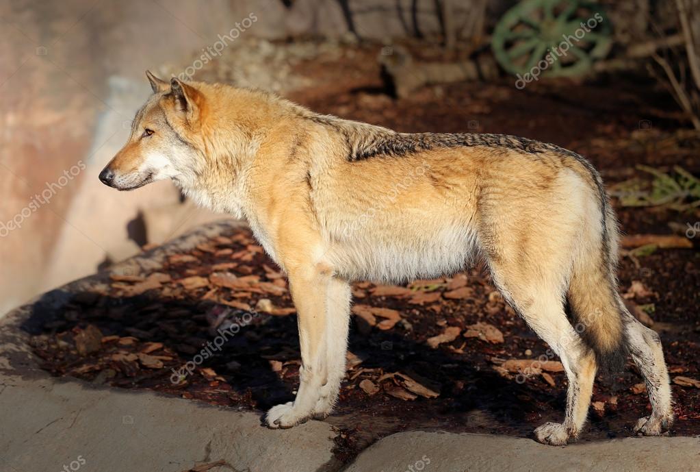 Картинка волк из маша и медведь послегарантийное обслуживание