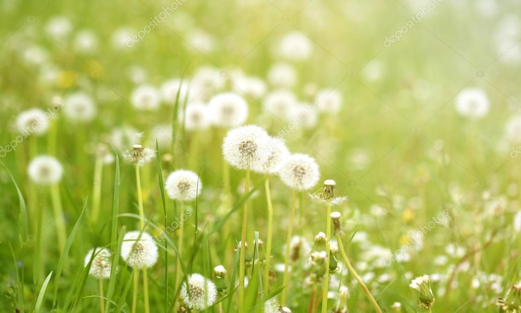 beautiful flowers  dandelions