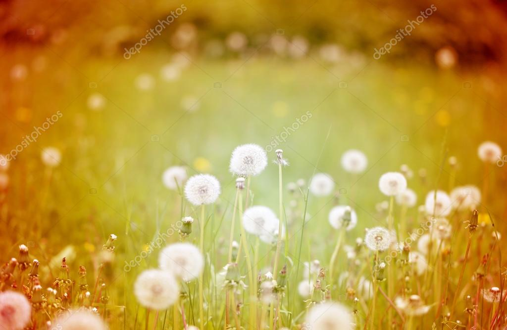 beautiful flowers  dandelions