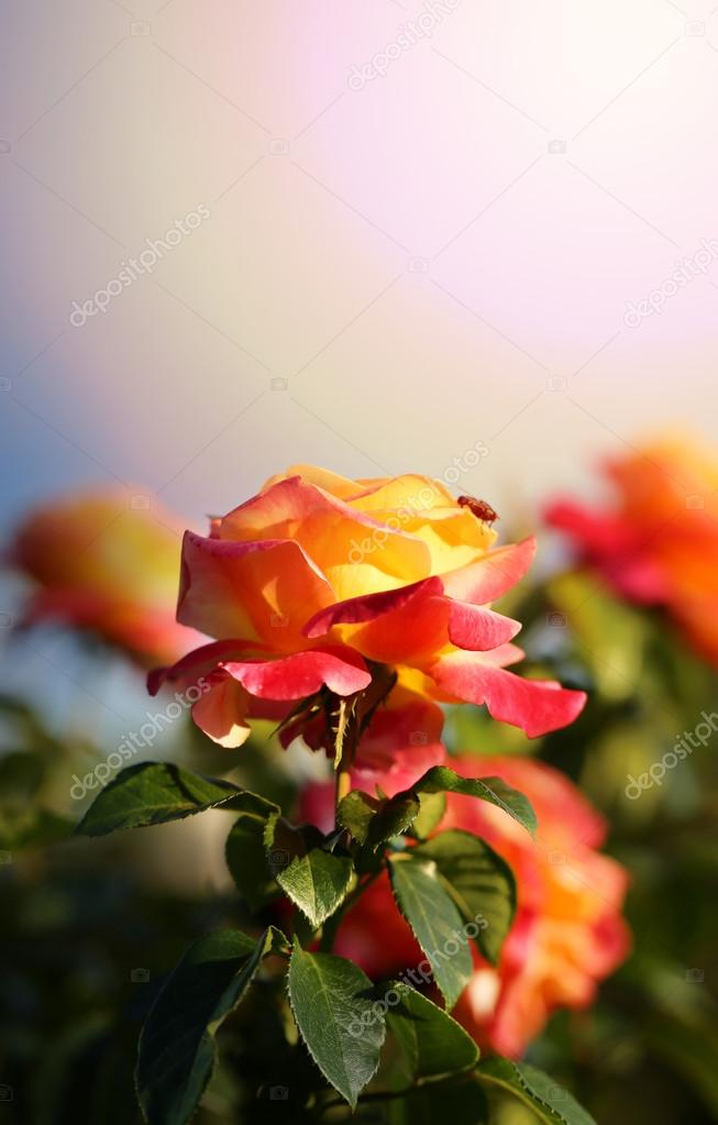 background bright roses