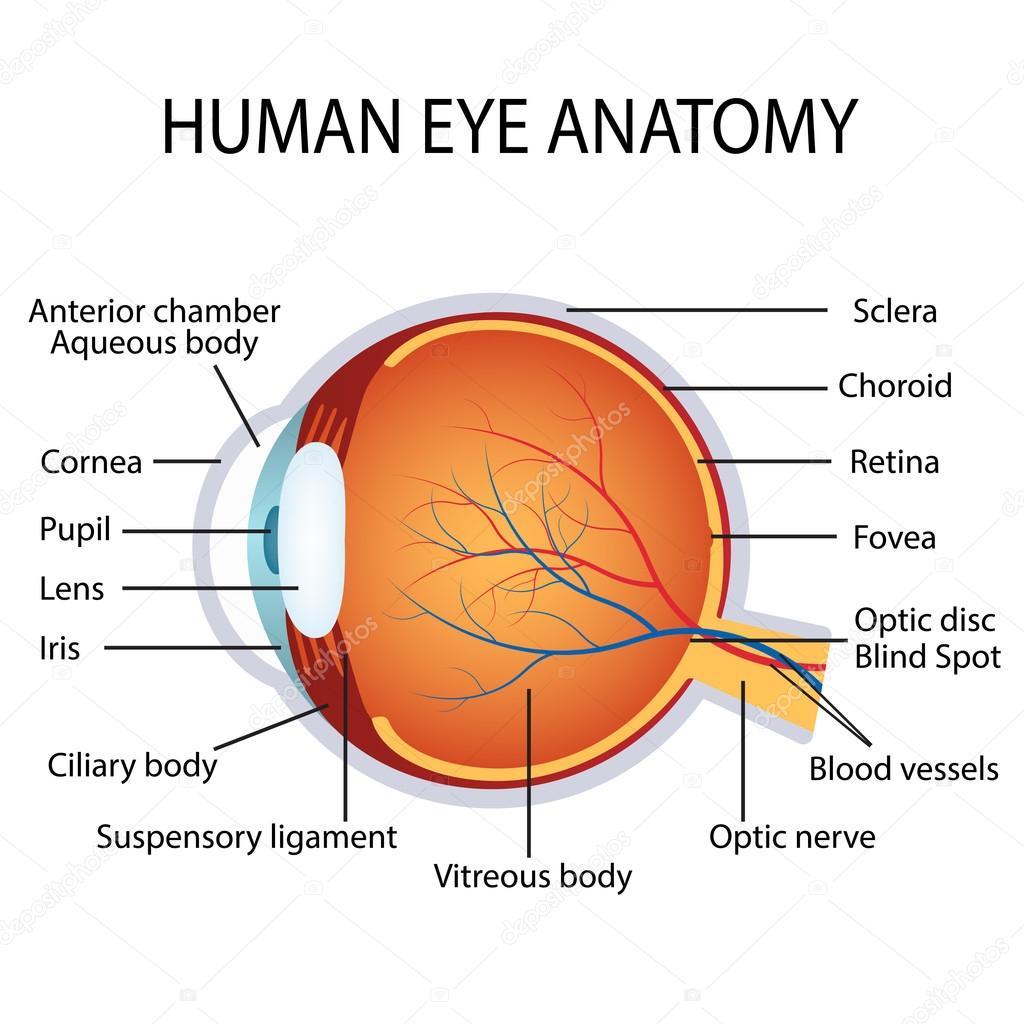 Anatomie des menschlichen Auges — Stockvektor © Neokryuger #102603998
