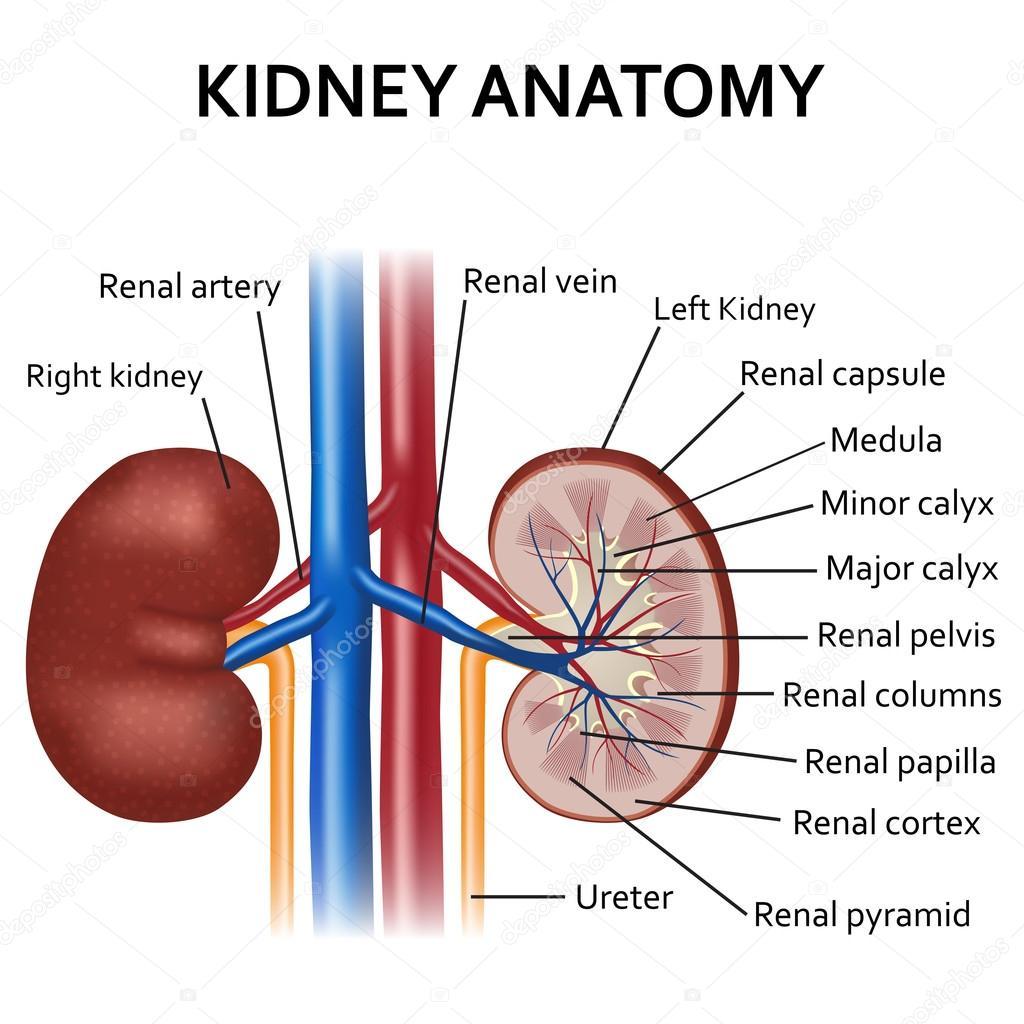 Diagram van de nier van de menselijke anatomie — Stockvector ...