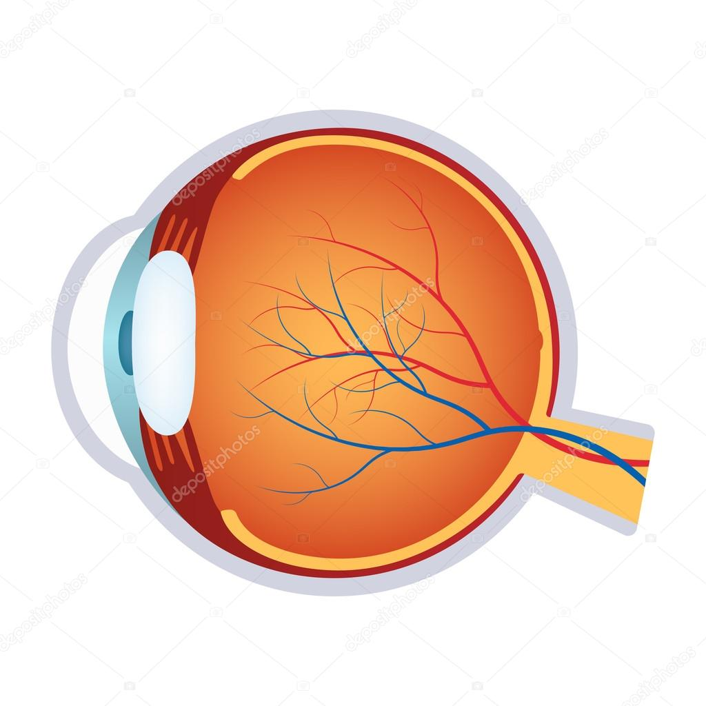Illustration Of A Human Eye Anatomy Stock Vector Neokryuger Image Diagram Download