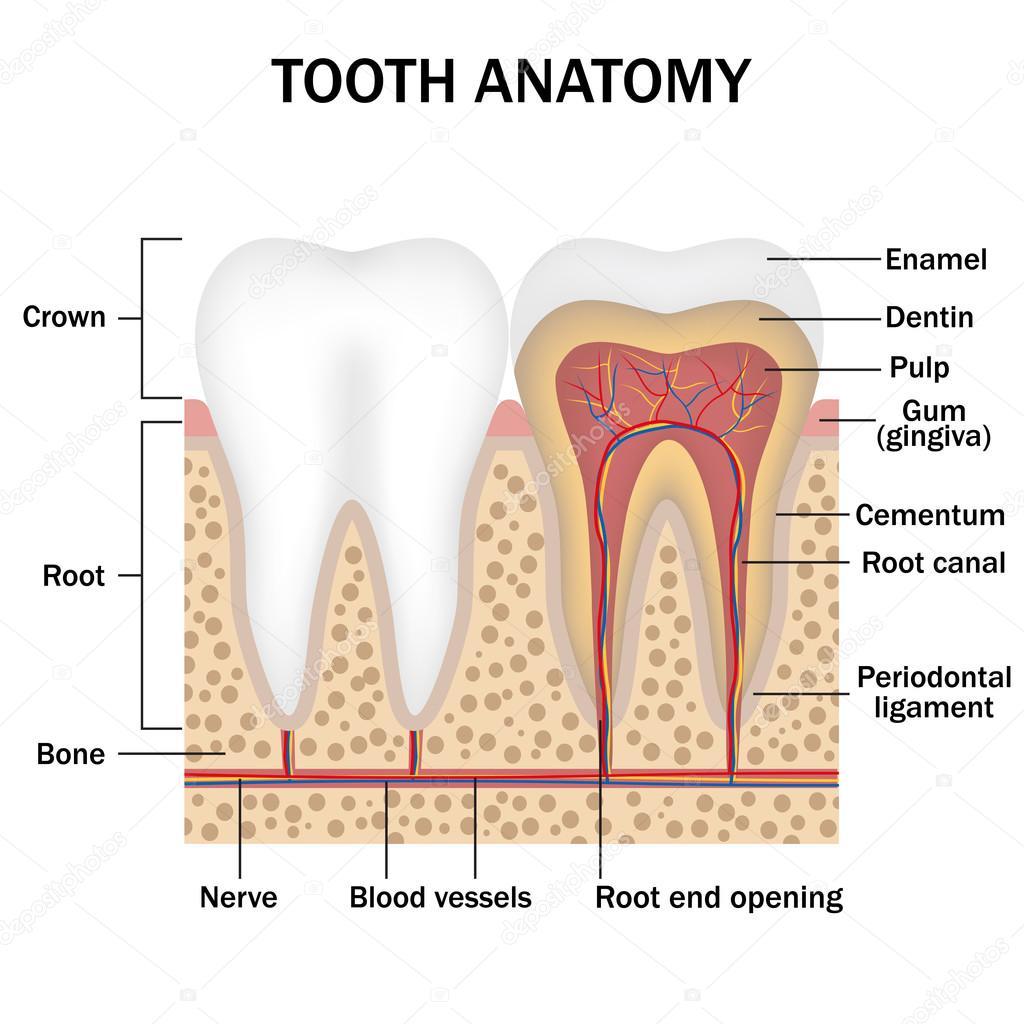 Anatomie der Zähne — Stockvektor © Neokryuger #96876156