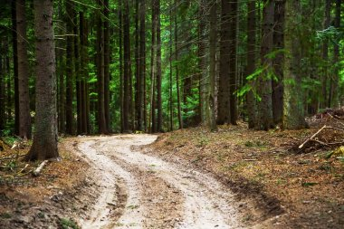 Road in fir tree forest