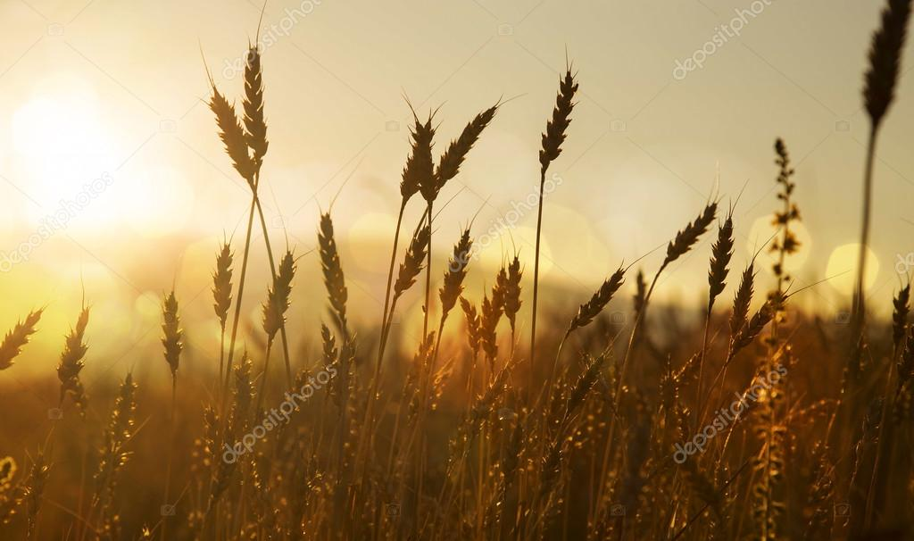 Ears of wheat silhouettes in the sunset light