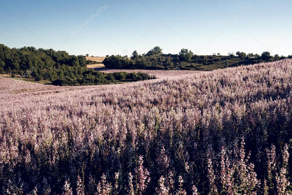 Lavender flower blooming fields