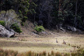 Fotografie Group of australian kangaroos