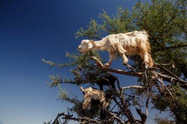 incredible tree-climbing goats