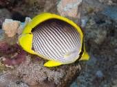Coral fish Blackbacked butterflyfish