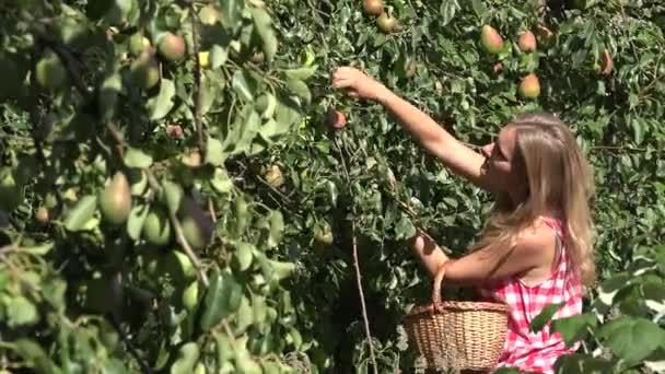 Zaměstnankyně sklizni hrušek na proutěný koš a ovocné větve stromu s ovocem. Změna zaměření