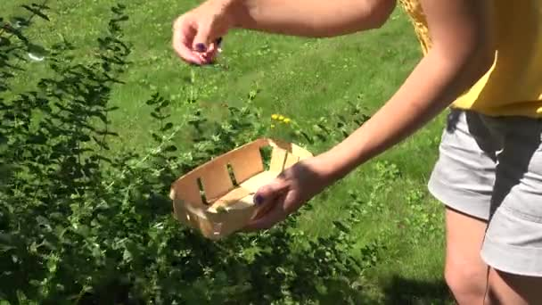 female hand gather fresh herb mint leaf on basket in garden.