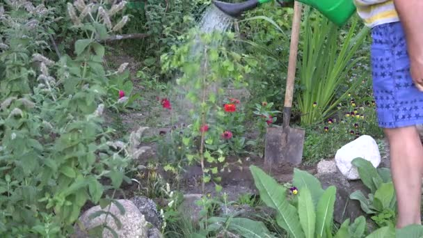 Villager man water freshly planted ginkgo biloba tree sapling in backyard. 4K
