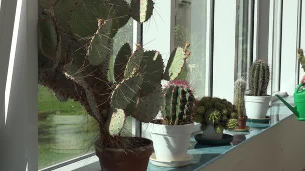 Closeup velký kaktus rostliny rostou v konzervatoři a s rukou žena může zalévání rostlin. 4k