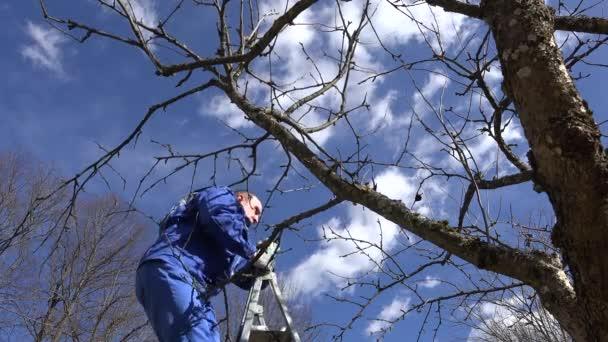Profesionální zahradník člověk vylézt na žebřík a švestkového ovoce strom větví