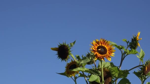 Decorative colorful sunflowers flowers blooms move in wind on background of blue sky. 4K