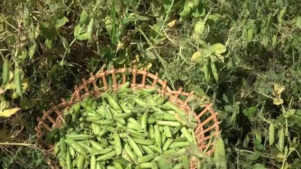 Wicker Teller voller Pflanze Erbsenschoten und Dorfbewohner Frau Ernte. 4k
