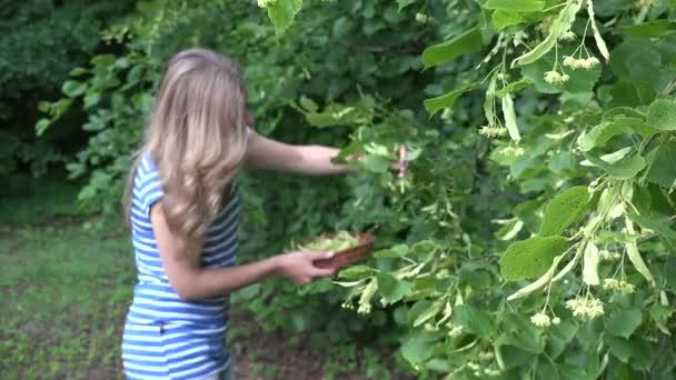 žena sběr čerstvé Lípa květ v parku. Sezónní bylinek. 4k