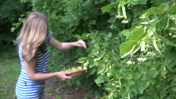 ženské bylinkář vybrat lipové květy pro bylinné medicíny. 4k