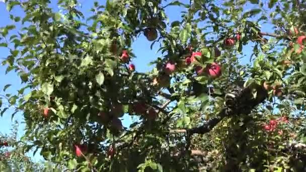 Successful year of orchard apple fruit tree harvest. Tilt down. 4K