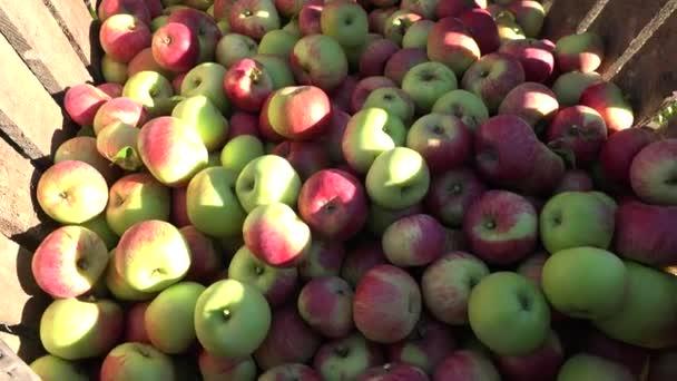 Piros Alma gyümölcs szüret, őszi kerti fa dobozban. 4k