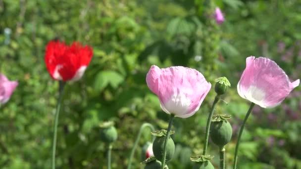 Dekoratív mák virág virágzik a nyári kert szél mozog. 4k