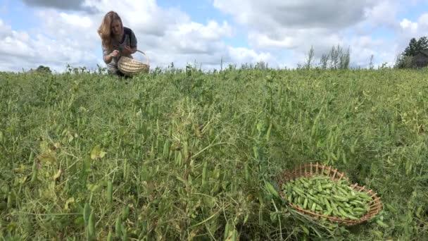 Bäuerin Arbeiter sammeln Ernte im Feld Erbse Werk. 4k