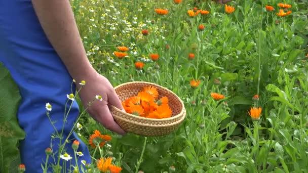Mužské ruce shromáždit měsíčku calendula bylina kvete na proutěné misky. 4k