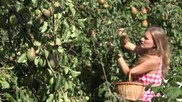 Voják plný hrušek a rozmazané žena sklizeň zralého ovoce ze stromu větev stromu. 4k