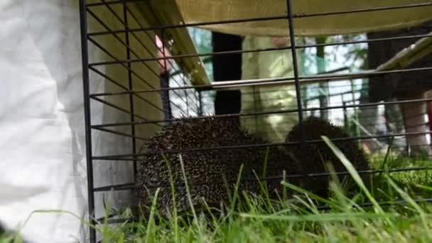 Two hedgehog animals close in captivity cage and people walk