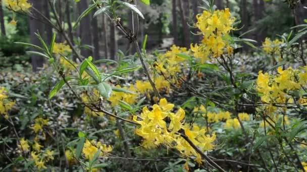 Zavřete rododendron žlutý květ rostlin větvička s květy