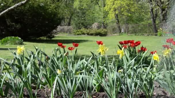 closeup Narcis a tulip květiny, zalévání v jarní zahradě