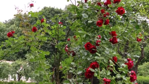 Red rose bush. Pregnant happy woman throw rose petals in garden
