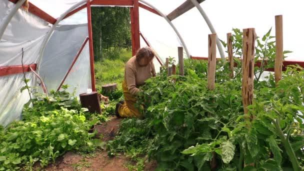 babička žena trávu rajčete rostliny ve skleníku a kočka