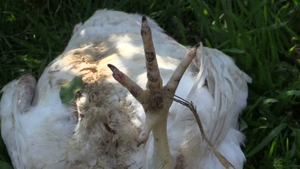 Dead broiler chicken on grass. Killed farm animal for food