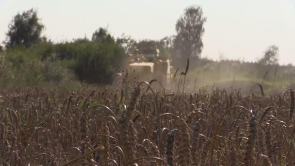 Össze aratás búza gabona területen és érett fülét mozog szél